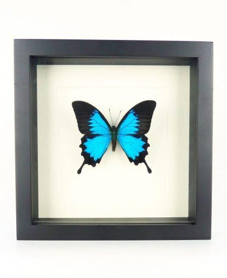 Vlinder in lijst blauw