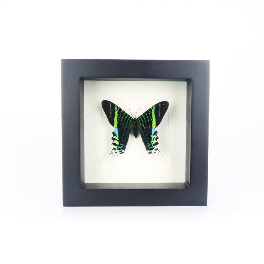 Vlinder in lijst groen klein