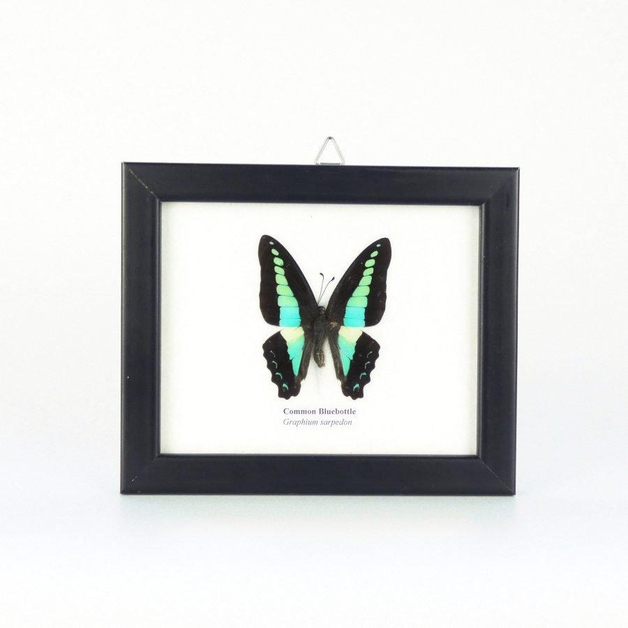 Vlinder in lijst klein blauw