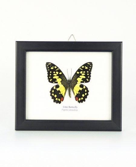 Vlinder in lijst klein geel