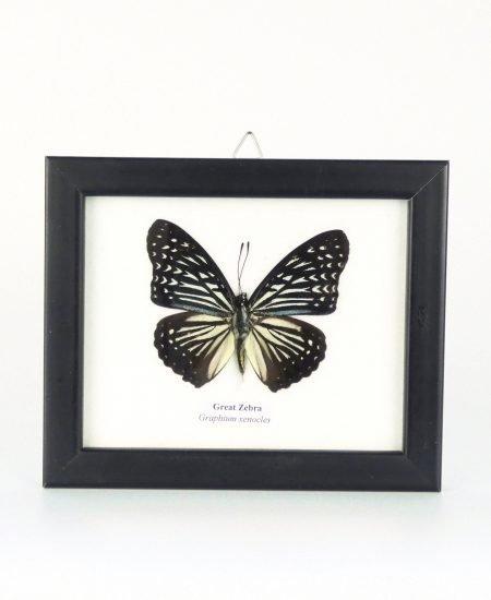 Vlinder in lijst klein zebra
