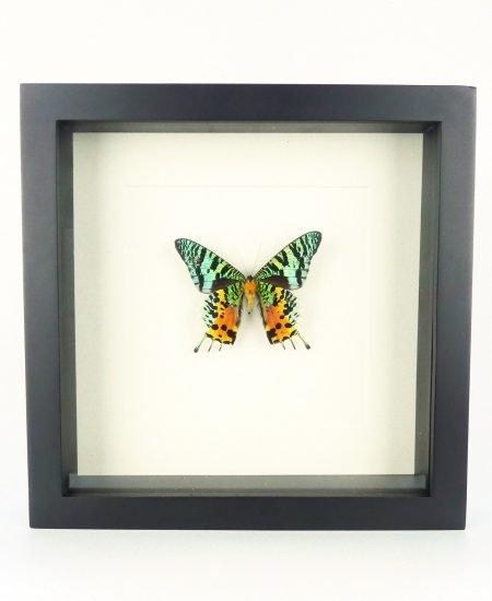 Vlinder in lijst regenboog