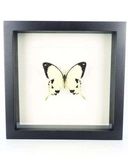 Vlinder in lijst wit